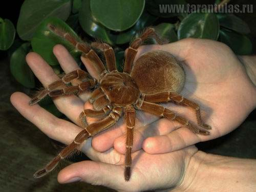 largest spider in the united states